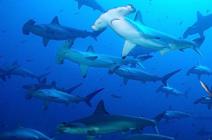 6 Yüzgeçli Küt Burunlu Köpekbalığı