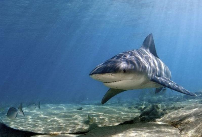 Boğa Köpekbalığı
