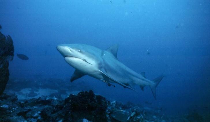 Bronz Balina Köpekbalığı
