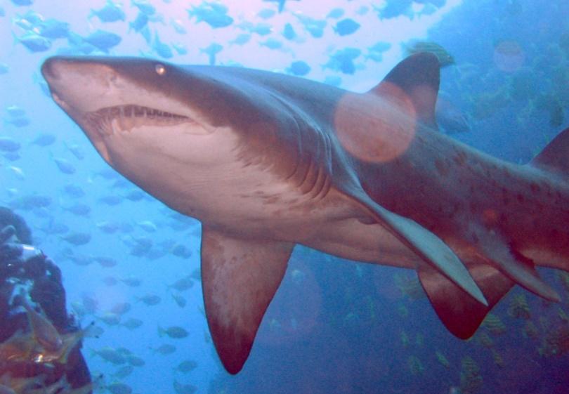 Kaplan Köpek Balığı