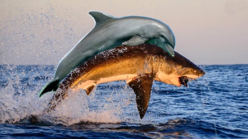 Köpek balığı neden yunus balığından korkar