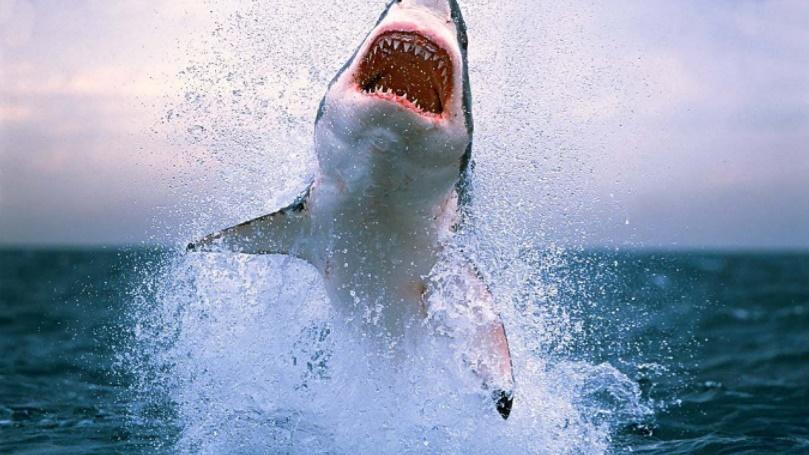 Köpek balıkları insanlara neden saldırır