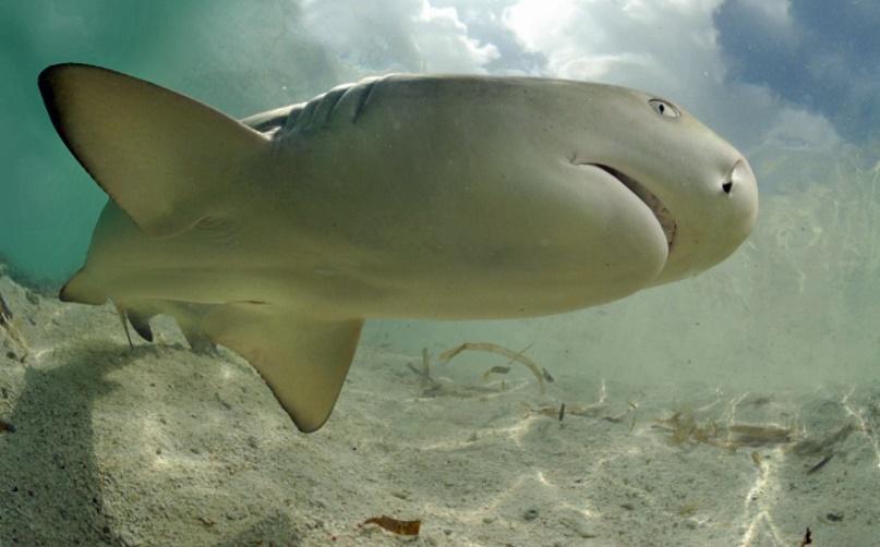 Limon Köpekbalığı tehlikeli mi